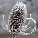 Frozen-Teasel