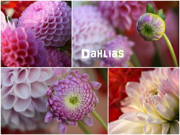 Pink-Dahlias-Collage