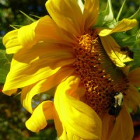 sunflower-and-bee