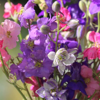 Larkspur-Sublime-Mixed