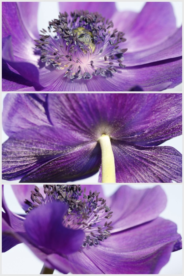 Anemone-collage
