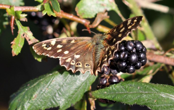 Speckled-Wood-Butterfly-on-Bramble