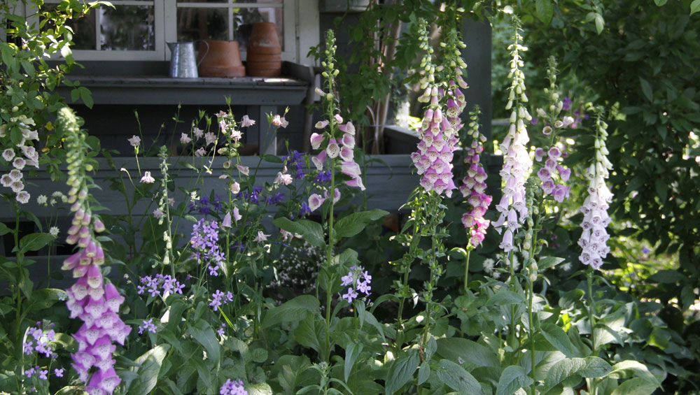 Foxgloves-in-the-Garden