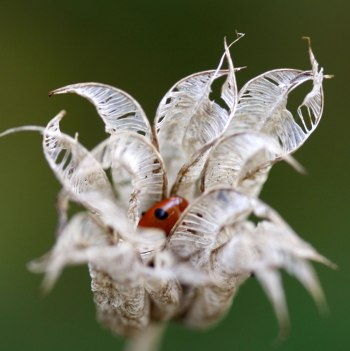 Ladybird-hibernating