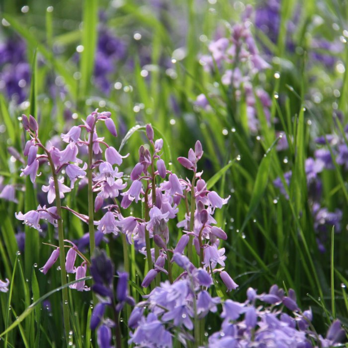 Mixed-Bluebells