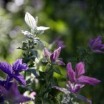 Salvia-viridis-bouquet-mixed