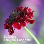 Scabiosa-Beaujolais-Bonnets