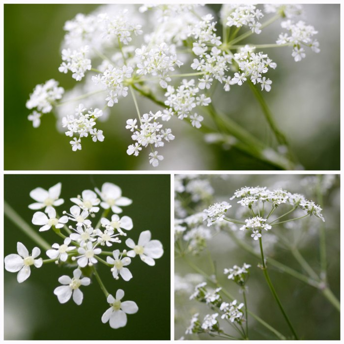 Cow-Parsley-Collage