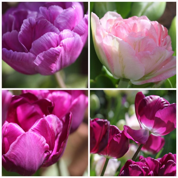 Pink-Tulips-Collage