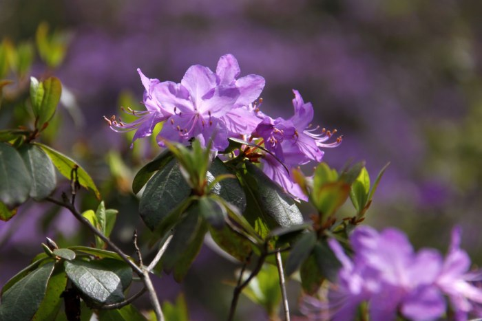 Rhododendron-Blue-Ribbon