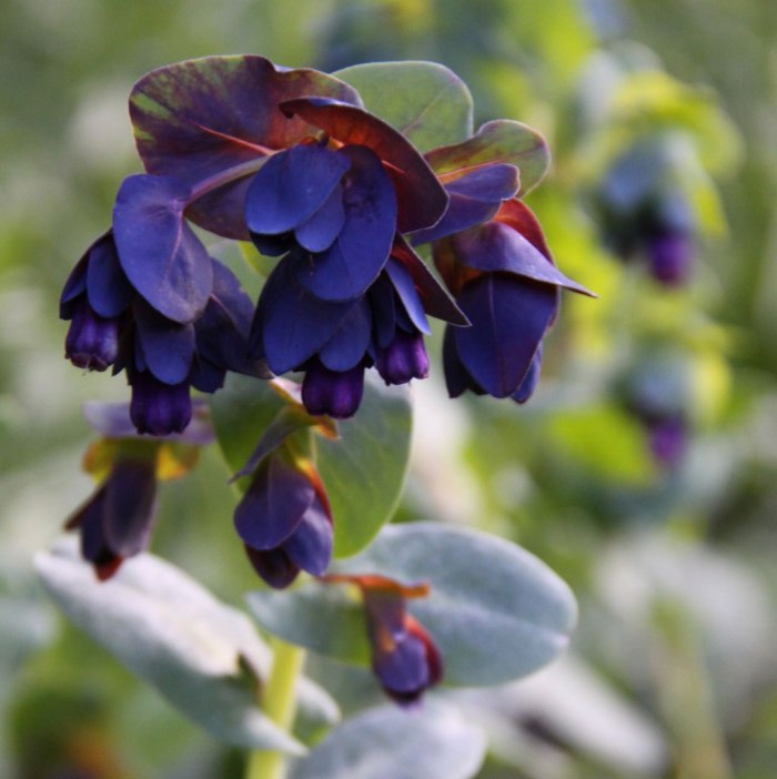 Cerinthe-major-Purpurascens