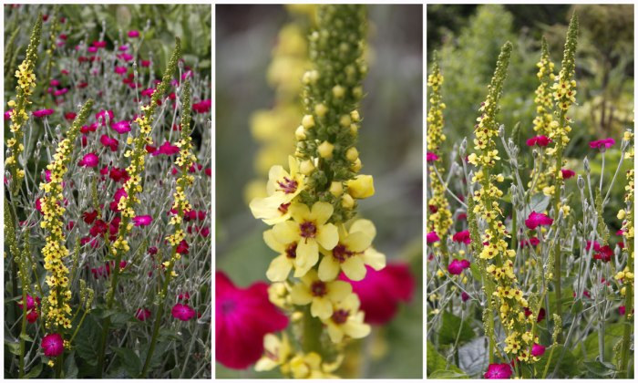 Verbascum&Lychnis-Collage