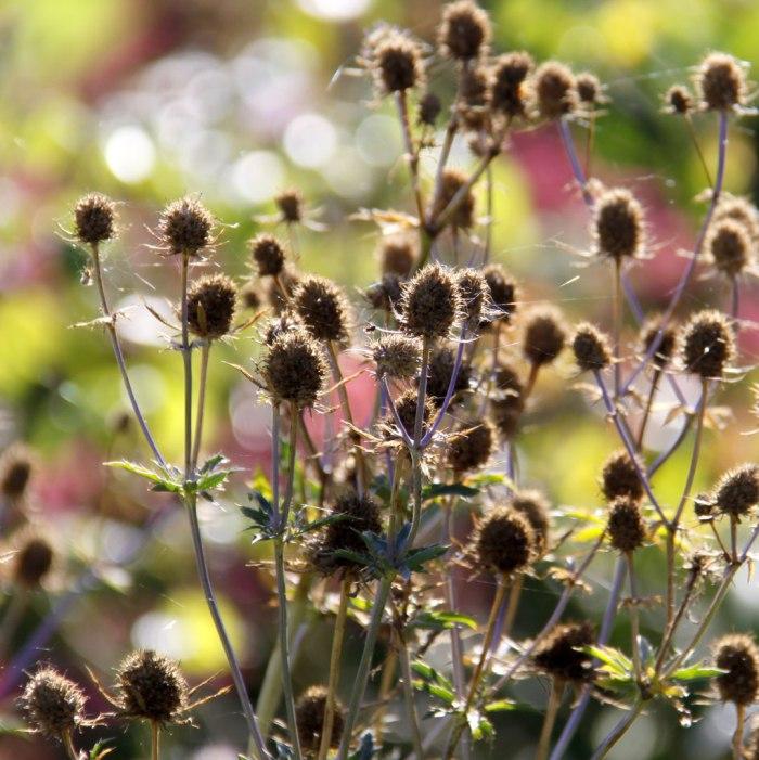 eryngium-seedheads-ig
