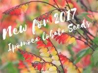 ipomoea-lobata-seeds-300