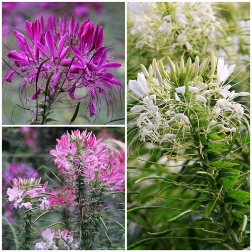 cleome-mixed