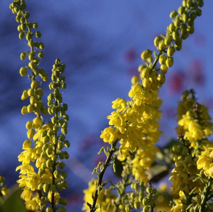 mahonia-flowers