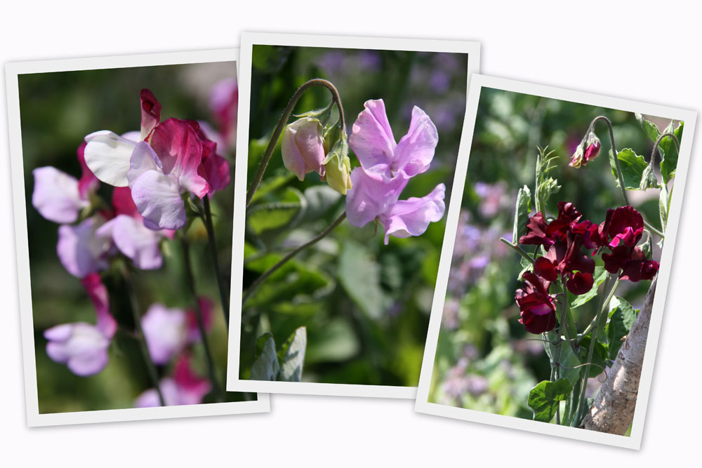Sweet-Pea-Collage