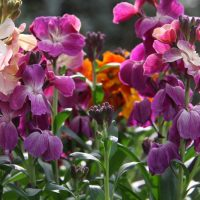 How to Grow Wallflowers