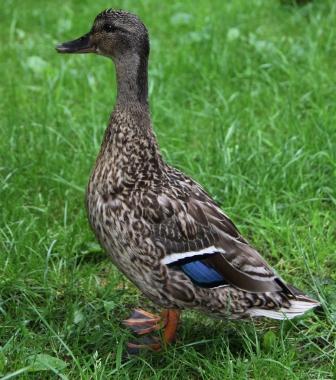Mother Duck 03