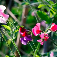 Super Sweet Peas