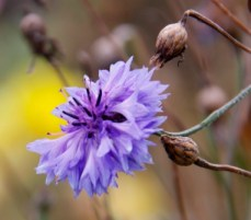 blue-cornflower-october