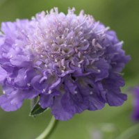 Annual Scabious