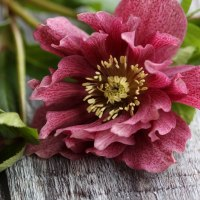 PhotoBoards and Hellebores