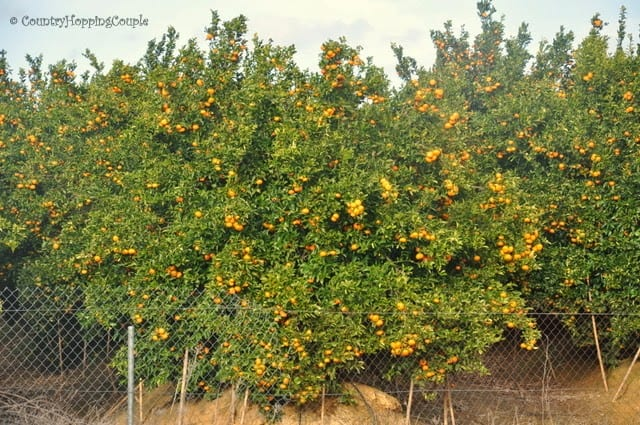 Clementines Winter Orange Trees Portugal