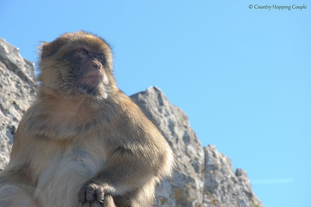 Photo Of The Week: Barbary Macaques in Gibraltar