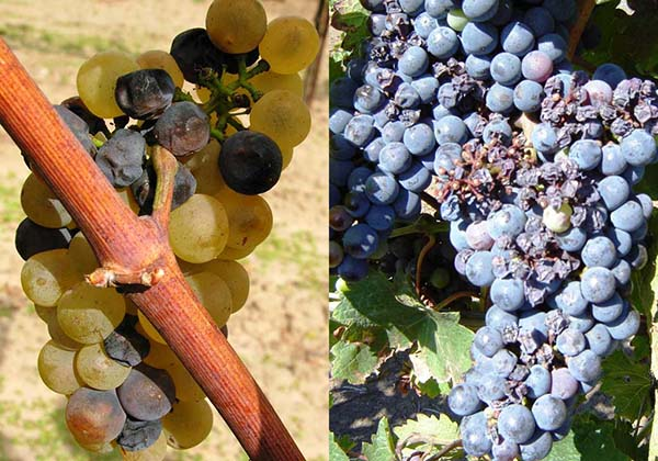 kaip vynuogės veikia erekciją)