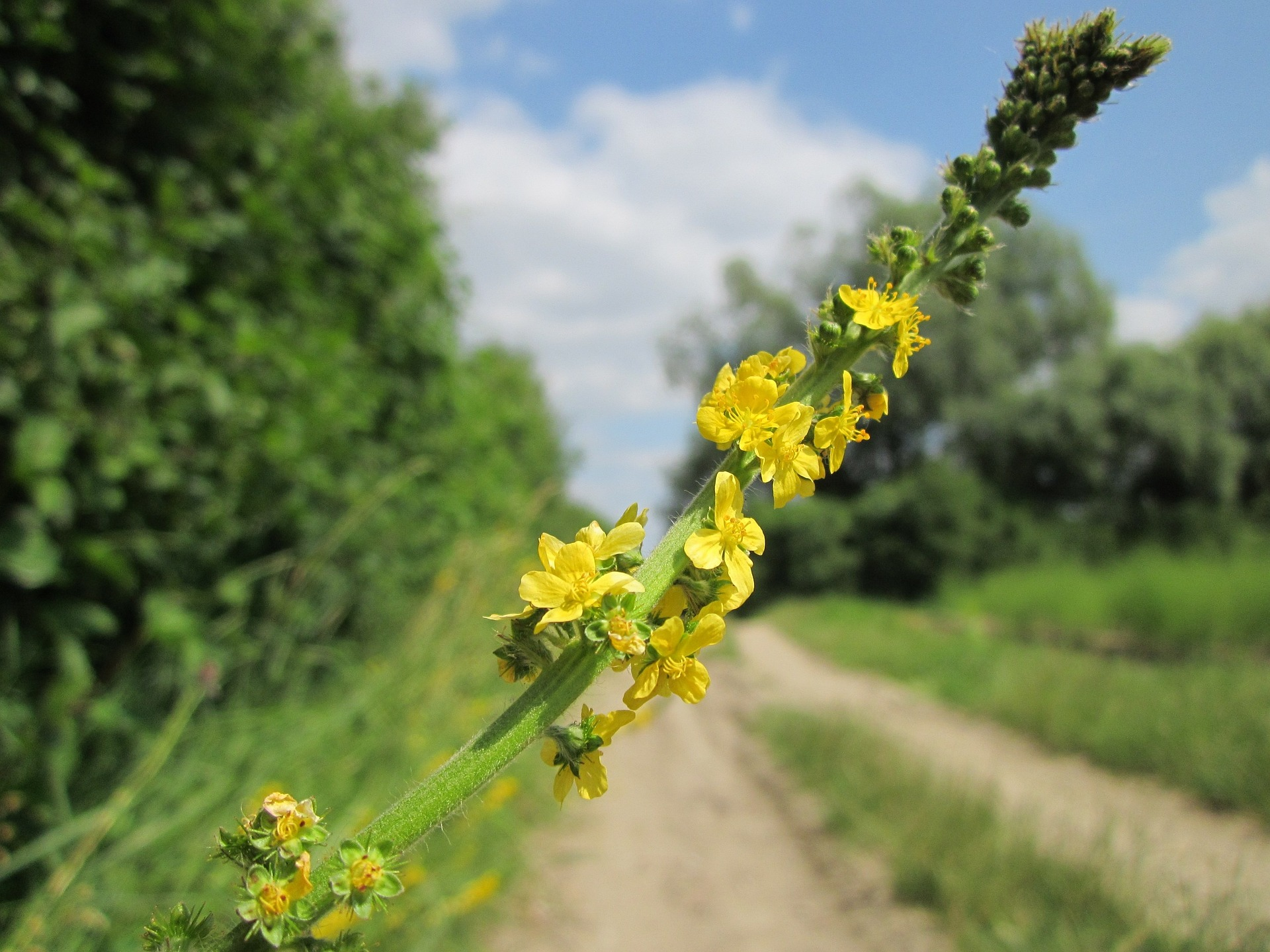 Agrimony Herb Research