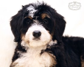 Candy - F1 Miniature Bernedoodle, home in MN