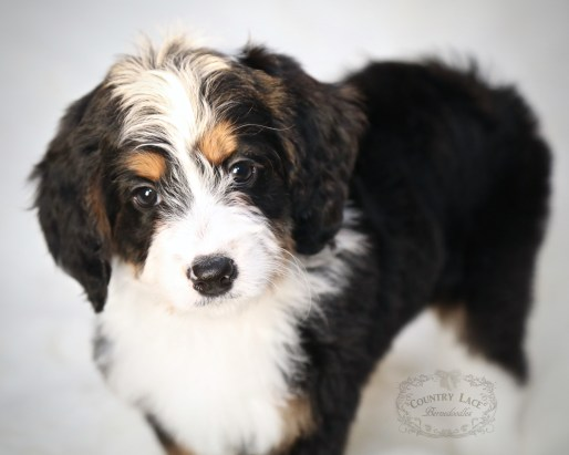 Dahlia - F1 Miniature Bernedoodle, Home in MN