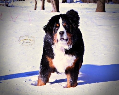 """Nadja"" - AKC Bernese Mountain Dog"