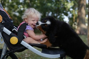 AKC Bernese Mountain Dog, Cherie (Pictured with Isla Perry)