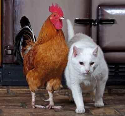 http://countrylife.media.ipcdigital.co.uk/3|00004b002|5a77_chicken12.jpg