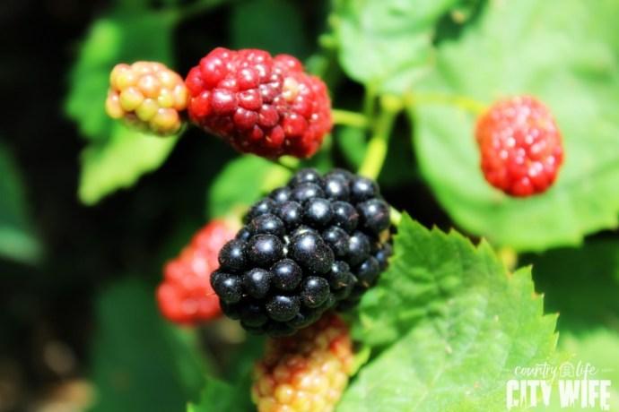 Berry Picking in Northwest Arkansas