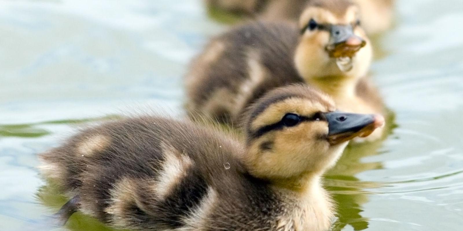 How To Keep Ducks