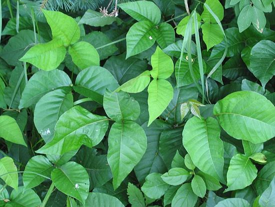 poison ivy plants before being sprayed with home made weed killer