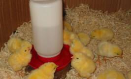 meat birds, raising chicks