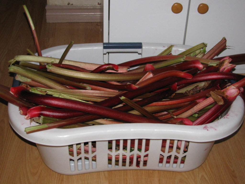A basket of rhubarb is ready to turn into wine.