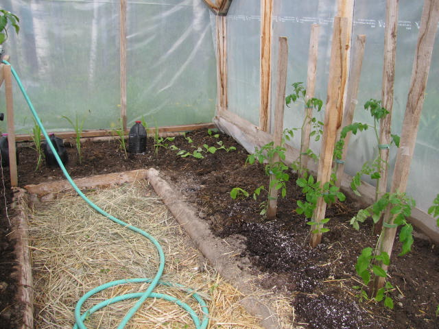 Tomato plants transplanted into a greenhouse