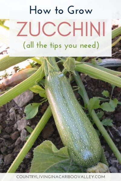 Grow a couple of Zucchini plants this year - it yields a lot. How to grow Zucchini, when to harvest Zucchini and what to do with big Zucchini. #gardening #vegetablegardening #zucchini