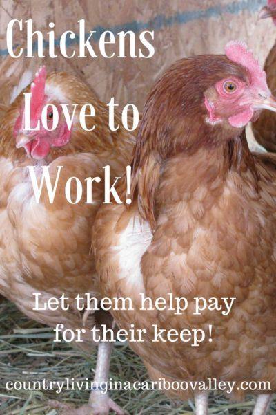 laying hens, animals, farm