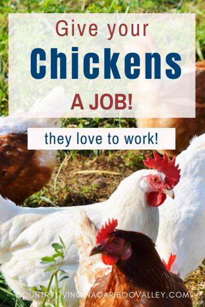 Chickens love to work and can help YOU. Here's how to keep chickens busy and productive. #chickens #backyardchickens #chicks #homesteading