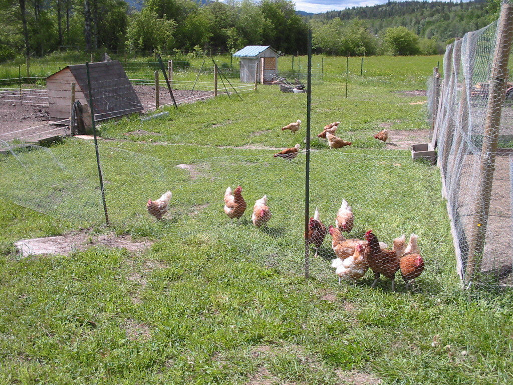 chicken questions and answers, laying hens, raise chickens