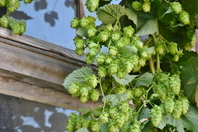 Hops growing up a garden shed