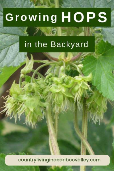 Grow your own hops and use for herbal purposes. Hops can be used for making home brewed beers. #hops #homebrew #herbs #flowers #vines #perennials