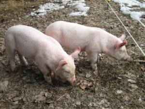 raising pigs, pig as rototiller, build your own barn, chicken coop, garden, country living in a cariboo valley