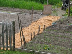 garden, vegetable garden, country living in a cariboo valley, potatoes, self sufficiency, pathway mulch